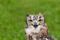 Close up of a burrowing owl on a green background Stock Photos