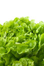 Close up of butterhead lettuce (macro) Stock Photos