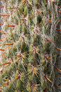 Close up of cactus detail old man oreocereus celsianus with orange prickles Royalty Free Stock Image