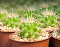 Close up cactus plant in a small pot for sale Royalty Free Stock Photography