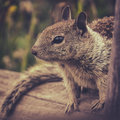 California Ground Squirrel Royalty Free Stock Photo