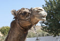 Close up of a Camel Stock Images
