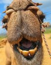 Close Up of Camel Smile showing theet in the desert in India Royalty Free Stock Photo