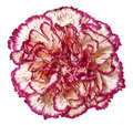 Close up carnation flower Stock Image