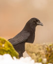 A close up of a carrion crow corvus corone between two stones Royalty Free Stock Photography