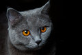 Close up cat portrait black background Royalty Free Stock Photography