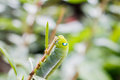 Close up Caterpillar, green worm is eating leaf Royalty Free Stock Photo