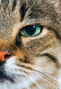 Close up of cats face Royalty Free Stock Photo