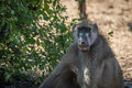 Close up of chacma baboon with open mouth Stock Image
