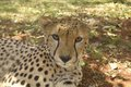 Close-up Of Cheetah In Animal ...