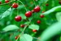 Close up of cherry fruits on a tree red twig green foliage background Royalty Free Stock Image