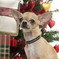Close up of a chihuahua in christmas setting isolated on white Stock Image