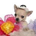 Close-up of Chihuahua puppy, 2 months old Stock Photography