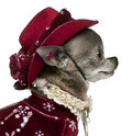 Close-up of Chihuahua in winter outfit, Royalty Free Stock Image