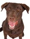 Close-up of a Chocolate Labrador Retriever Dog Stock Photography
