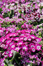 Close up of cineraria Royalty Free Stock Photos