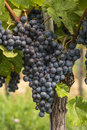 Close-up of a cluster of red grape hanging from a vine at a vineyard Royalty Free Stock Photo
