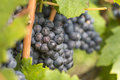 Close-up of a cluster of red grape hanging from a vine Royalty Free Stock Photo