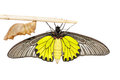 Close up cocoon and belly of male common golden bird wing butte butterfly on white background Stock Photos