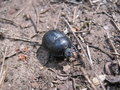 Close up coleoptera black beetle in forest Stock Photos