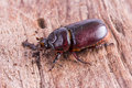 Close up coleoptera on wooden board Stock Photos