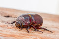 Close up coleoptera on wooden board Royalty Free Stock Photography