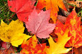 Close-up of a Colorful Maple Leaves Royalty Free Stock Photo