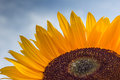 Close up of a colorful sunflower with drops Royalty Free Stock Photography