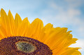 Close up of a colorful sunflower with drops Stock Photography