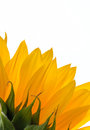 Close up of a colorful sunflower on white background Royalty Free Stock Image
