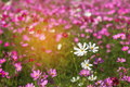 Close up colorful white and pink cosmos flowers blooming in the field with blue sky