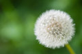Close up common dandelion taraxacum officinale with ripe fruits macro punchy colours and a smooth background Stock Photo