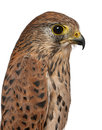 Close up of Common Kestrel Royalty Free Stock Photos