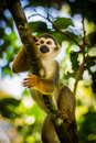 Close-up of a Common Squirrel Monkey at Amazon River Jungle Royalty Free Stock Photo