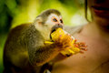 Close-up of a Common Squirrel Monkey at Amazon River Jungle. eat Royalty Free Stock Photo