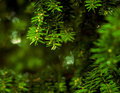 Close up of coniferous branches tree with water drops Royalty Free Stock Photo