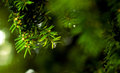 Close up of coniferous branches tree with water drops Royalty Free Stock Image