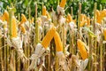 Close up corn field on crop plant for harvesting Royalty Free Stock Photo