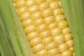 Close up of a corn plant Royalty Free Stock Photo