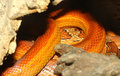 Close up corn snake skin hidden in cave Royalty Free Stock Image