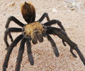 A close up costa rican also known as desert tarantula commonly seen in monsoon season Royalty Free Stock Images
