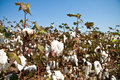 Close up of cotton plants Royalty Free Stock Image