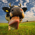 A close up of a cow s head the cow is sticking out its tongue animals Royalty Free Stock Image