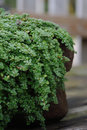 Close-up of creeping thyme groundcover plant Royalty Free Stock Photo
