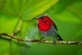 Close up of Crimson Sunbird Royalty Free Stock Photo
