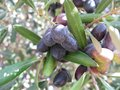 A close up of croatian black olives in a tree an olive at the countryside croatia the mediterranean Royalty Free Stock Photo