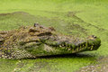 Close up on crocodile lying in farm thailand Royalty Free Stock Images