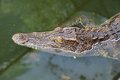 Close up crocodile while in the pool Stock Photography