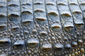 Close up of crocodile skin Royalty Free Stock Image