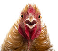 Close-up of Crossbreed rooster, Pekin Royalty Free Stock Photo